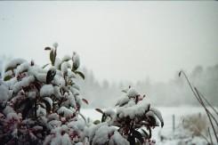 Strauch mit roten Beeren im Schnee