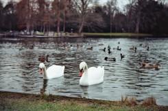 Schwäne und Enten im See